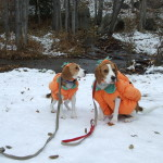 Pumpkin Beagles; Zoe & Scout!